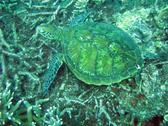 A sea turtle feeding from the reef