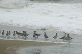 A flock of curlews standing on a sandy beach on a stormy day