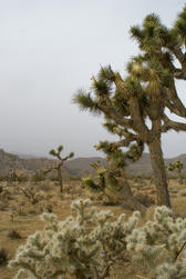 joshua tree and cactuses in a desert landscape, joshua tree national park, california