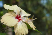 Beautiful yellow hibiscus flower with frilly edges to the petals and a scarlet throat growing outdoors in sunlight with copyspace