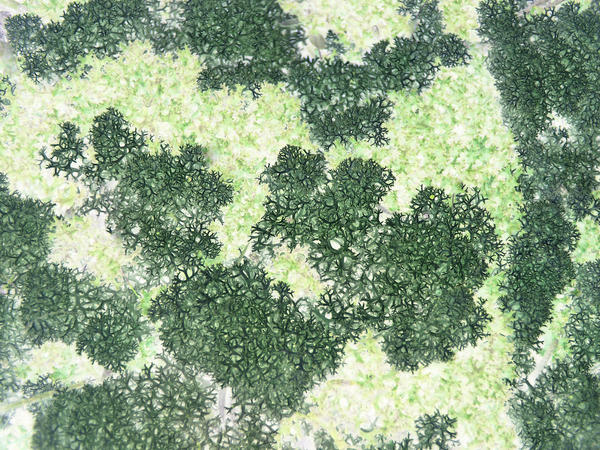 unusal macro background image of green coloured litchen