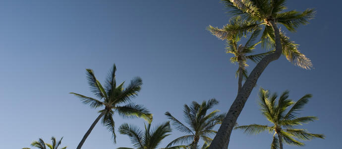 a grove of tall palm trees, Honolulu, Hawaii