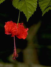 tropical rainforest flower, a hibiscus hanging upside down