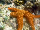 A bright orange coloured starfish