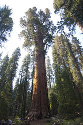 a giant redwood tree