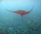 manta ray glides elegantly through the water