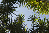 View from underneath looking up at the blue sky of lush tropical plants with radiating spiky leaves in a vacation and travel concept