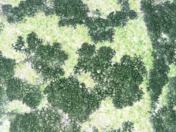 unusal macro background image of green coloured litchen
