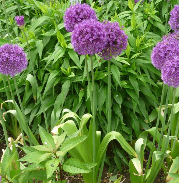 beautiful purple flower heads allium purple sensation