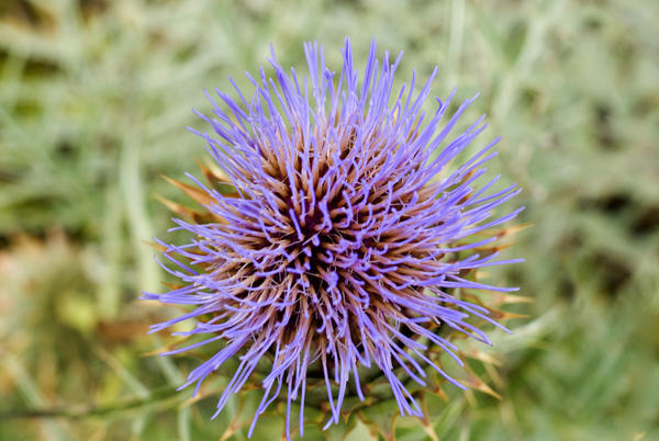 macro image of a single thistle flower head on an out of focus green foliage background
